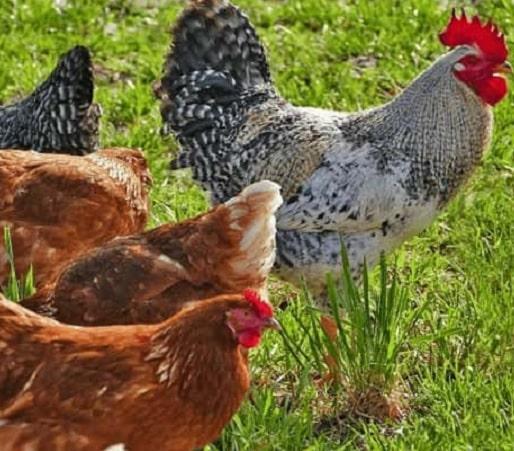 ramasser les oeufs des poules